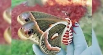 Aqui con ustedes la mas grande mariposa nocturna de Norte America con toda su belleza