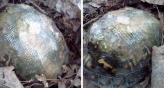 Il répare la carapace d'une tortue avec de la fibre de verre puis la libère dans la nature: quelques années plus tard, il la retrouve comme ça