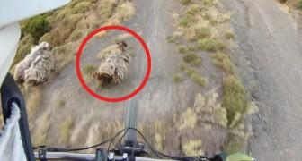 Il saute d'une rampe et rencontre un mouton... justement là où il doit atterrir!