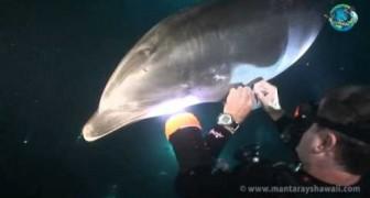 O golfinho que pede ajuda ao mergulhador