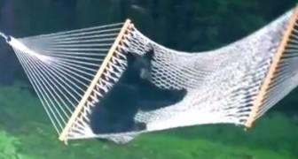 Le telecamere riprendono una scena incredibile: il cucciolo di orso IMPAZZISCE per l'amaca