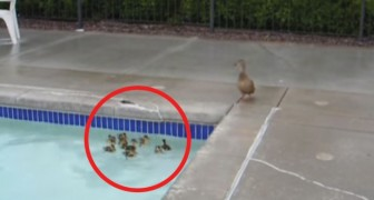 An ingenious swimming pool duckling save!