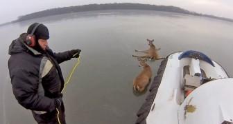 Salvamento de dois cervos no lago de gelo