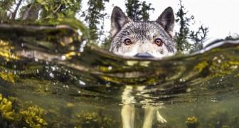Voici les rares loups de mer qui vivent dans l'océan et peuvent nager pendant des heures.
