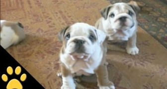After this video you will love Bulldogs