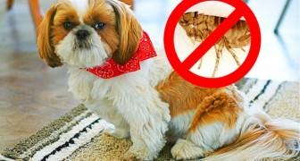 Il vostro cane ha le pulci? Ecco 4 rimedi naturali per eliminarle