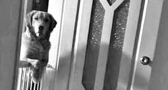 Een asielhond zit nachten lang naar z'n baasjes te staren en zijn zij helemaal van hun stuk gebracht als ze ontdekken waarom
