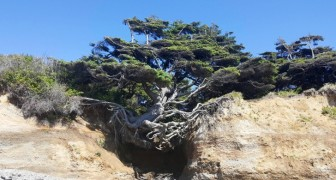 L'Arbre de Kalaloch: un énorme sapin qui ne renonce pas à la vie même s'il est englouti par un gouffre