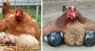 11 photos of hens trying to keep their STRANGE newborns warm