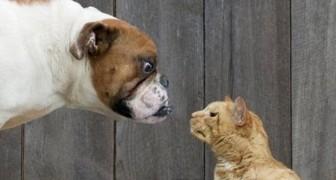 Perros vs Gatos gran round