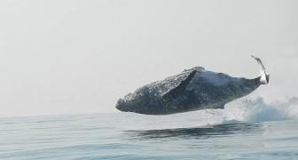 Een man slaagt erin voor de eerste keer een walvis te filmen die helemaal uit het water springt