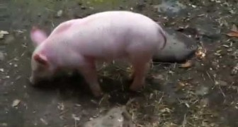 The hero piglet saves the goat