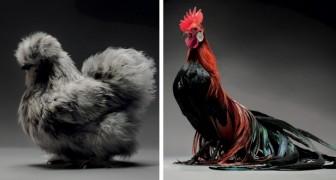 Due professionisti scattano centinaia di foto a dei polli: la loro bellezza vi lascerà senza parole
