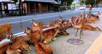 Un branco di cervi occupano la strada in Giappone
