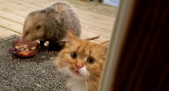 Ein Opossum klaut ihr ihr Abendessen, diese Katze reagiert so witzig
