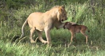 An unexpected friendship between a lion and a baby gnu