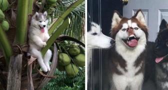 Ces 22 photos montrent que les huskys sont les chiens les plus bizarres et les plus expressifs de la planète.
