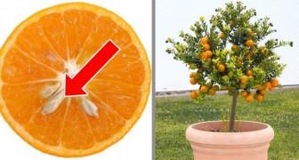 6 árvores que você pode plantar a partir das sementes de seus frutos