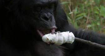 Bonobo accende il fuoco e tosta i marshmallows