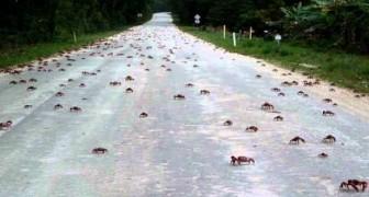 Migliaia di granchi attraversano la strada
