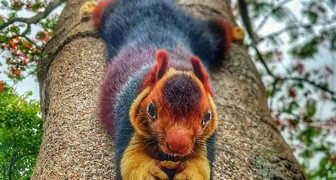 This giant multicolored squirrel is almost too beautiful to be real