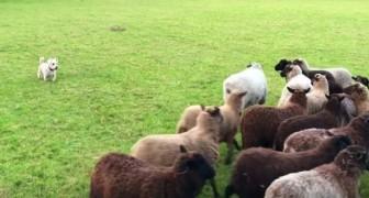 Il cane deve guidare il gregge nella stalla: la sua nuova 'tecnica' ha fatto ridere tutti a crepapelle