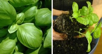 As 11 propriedade benéficas do manjericão e como cultivá-lo em casa