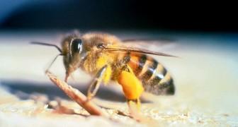 Zum ersten Mal wird eine Bienenspezies in die Liste der vom Aussterben bedrohten Tiere aufgenommen