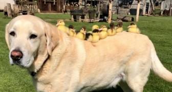 Ein Labrador nimmt 9 verlassene Entenküken auf: Ihre Fotos zusammen sind ein Wunder!