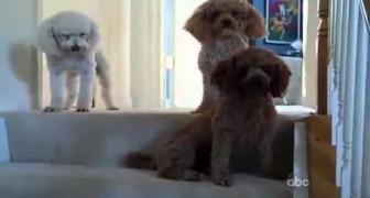La padrona trova un disastro in casa: la reazione dei suoi cani è uno spasso!