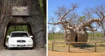 Il più antico, il più largo o il più solitario: 12 magnifici alberi che detengono un record mondiale