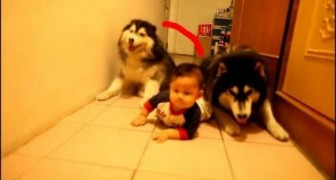 Si èl puede yo tambien!...un maravilloso Husky imita al bebè
