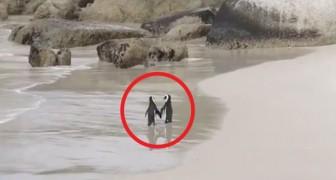 De video van deze 2 pinguïns die een romantische wandeling maken, is het liefste wat je vandaag ziet