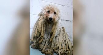 Un chien est emmené dans un refuge couvert de longues rasta : après la tonte, il ne lui ressemble plus !