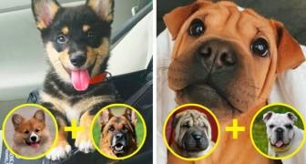 14 honden geboren uit het kruisen van 2 rassen, het liefste wat je vandaag zult zien