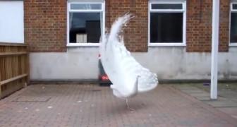 Een zeldzame albino-pauw bereidt zich voor om zijn veren te openen: het spektakel is gewoonweg schitterend
