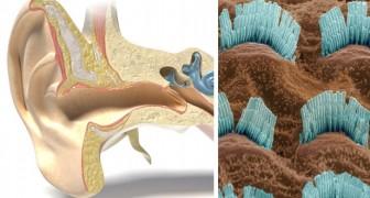 Traiter l'oreille avec la lumière : la stimulation optique peut être le tournant contre les problèmes auditifs