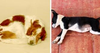 Ställningen som din hund sover i avslöjar mycket om hundens humör, så här känner den sig