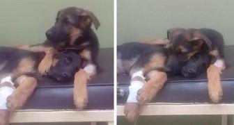 Een pup weigert zijn zieke zusje bij de dierenarts achter te laten
