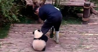 Därför är skötare av pandaungar det bästa jobbet i världen
