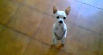 Même les Chihuahua dansent le flamenco