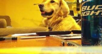 Golden Retriever loves listening to music