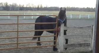 Quando hanno scoperto chi liberava i cavalli non riuscivano a credere ai loro occhi
