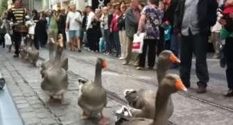 El desfile de los gansos al compas del tambor