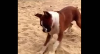 Ihr könnt euch nicht vorstellen, wie dieser Boxer auf den Geschmack einer Zitrone reagiert