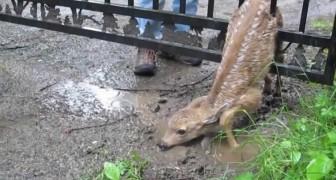O salvamento do pequeno cervo que ficou preso no portão