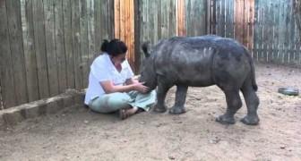 O rinoceronte órfão pede carinho
