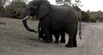 The cute baby elephant scares himself