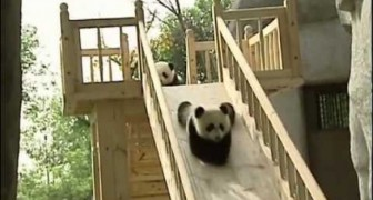 Pandas se divertem no escorregador