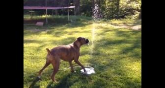 Este boxer es terriblemente atraido por la nueva fuente de agua.